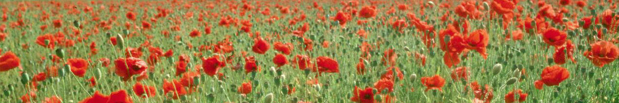 field of wild poppies